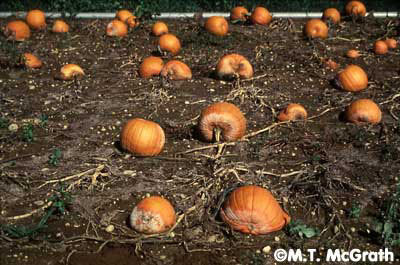 Phytophthora infested pumpkins